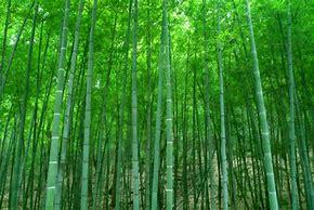 竹の魅力について